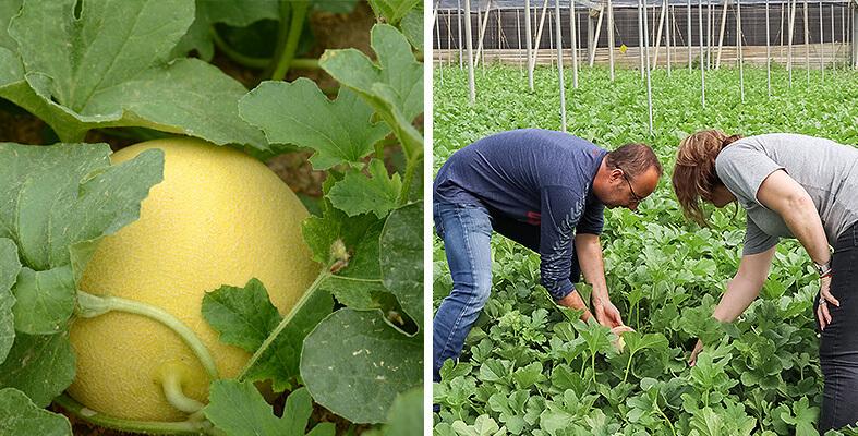 melon-galia-unicafresh-tecnico-agricultora